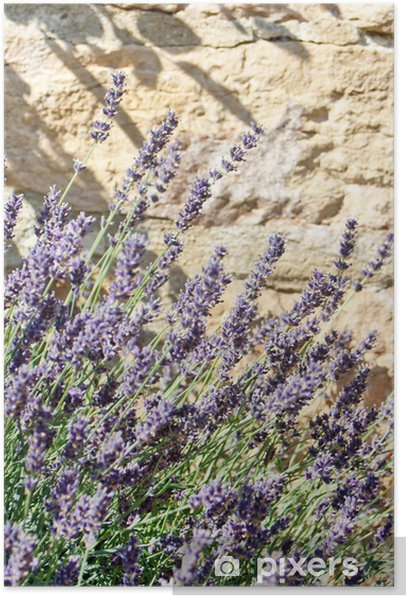 Lavender in the summer Poster - Agriculture