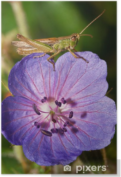 Lazy grasshopper on flower Poster - Other Other