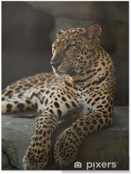 Póster Leopardo de la pantera - Mamíferos