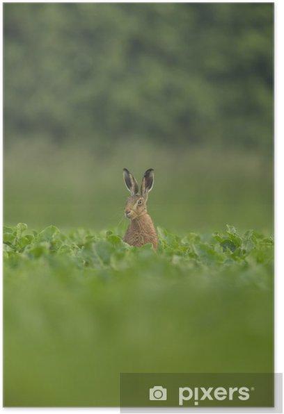 Poster Lepus europaeus - lièvre brun européen - Mammifères