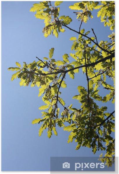 Poster Les jeunes feuilles de chêne - Vie