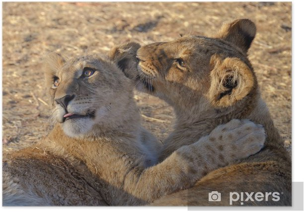 Lion cubs playing Poster - Themes