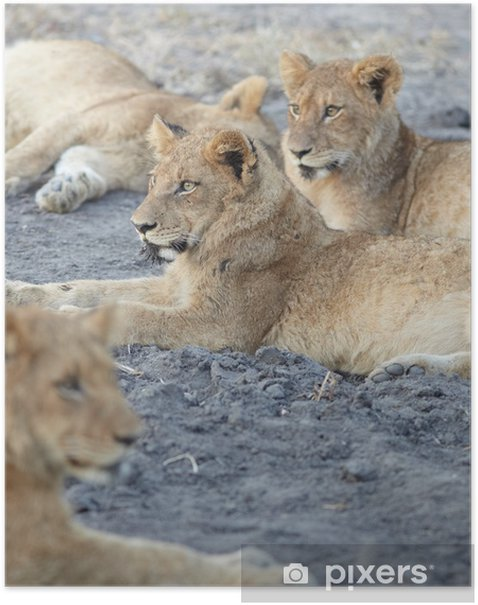 Lions at rest Poster - Themes