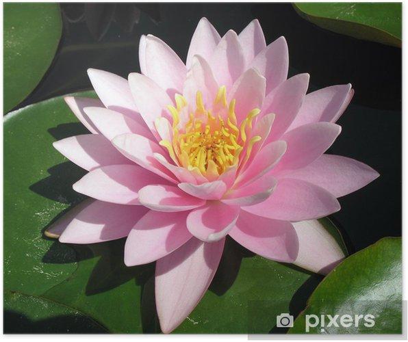 Póster Lirio de agua de color rosa perfecto - Flores