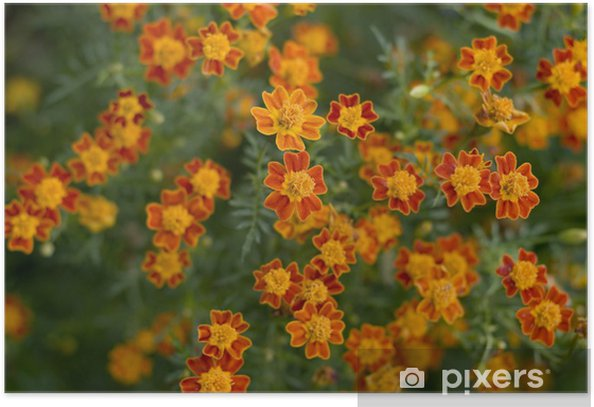 Little Orange Flowers, natural beauty background Poster