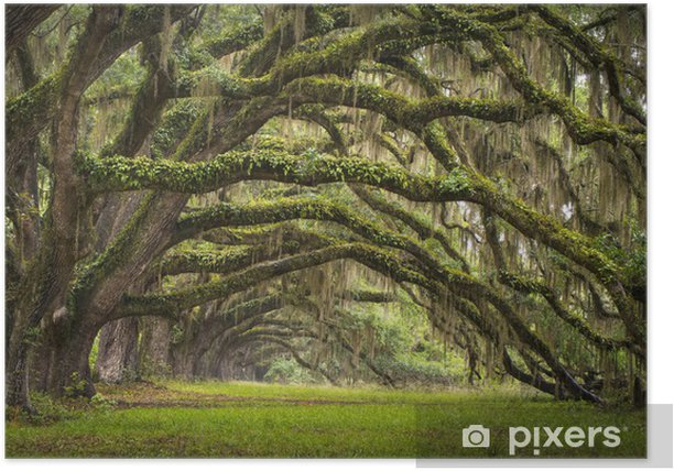 Live Oak tree forest Poster - Styles