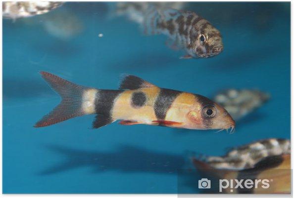 Poster Loche de clown (Botia macracantha) poissons aquarium d'eau douce - Animaux marins