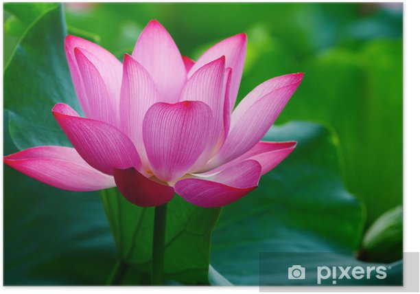 Lotus Flower Blooming In Pond Poster Pixers We Live To Change
