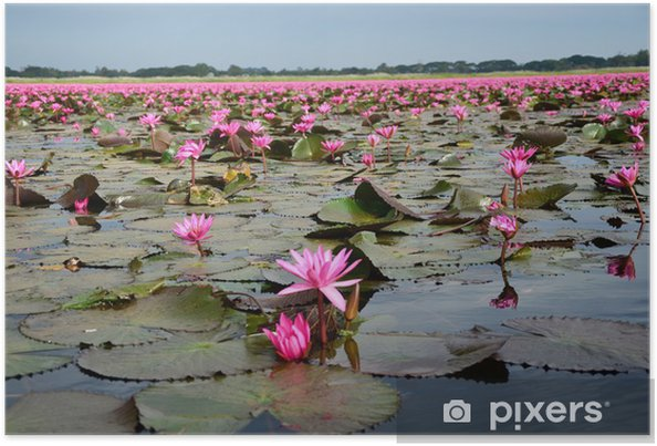 Lotus Flowers in Swamp Poster