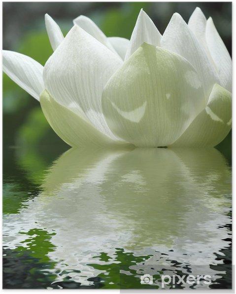 Poster Lotus Sacre Fleur Blanche De Nelumbo Nucifera Pixers We