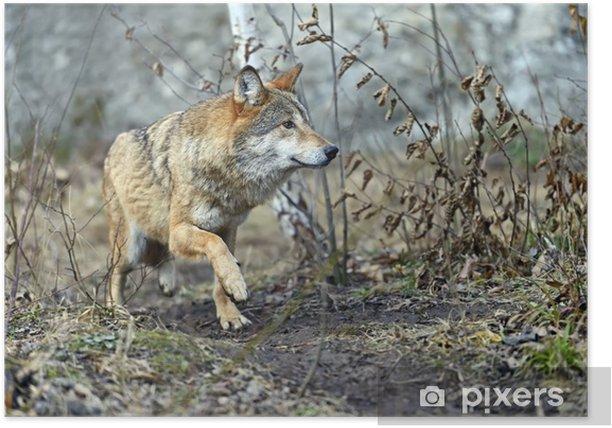 Poster Loup gris dans les bois - Thèmes