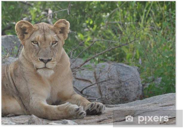 Löwe entspannt sich auf Felsen Poster - Themes