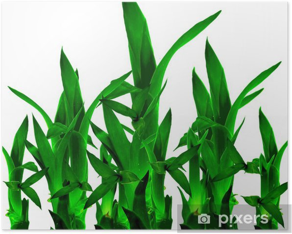 Lucky Bamboo In Isolated White Background Poster - Home and Garden