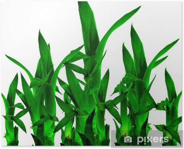 Poster Lucky bambou En fond blanc isolé - Maisons et jardins