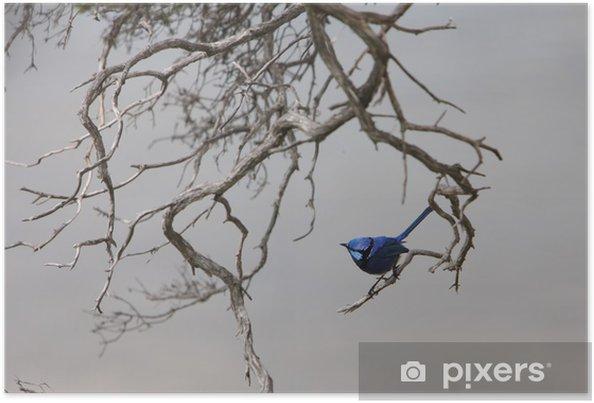 Poster Magnifique Fée-roitelet - Oiseau indigène australien - Océanie