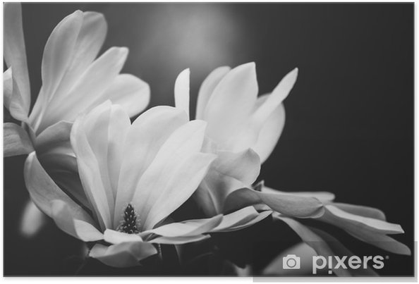 Magnolia Flower On A Black Background Poster Pixers We Live To
