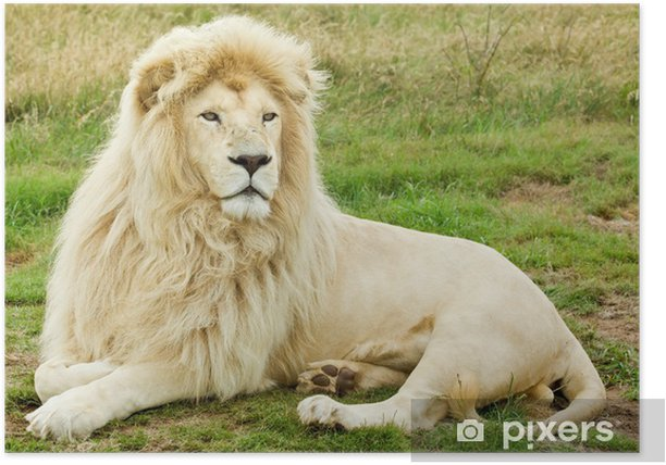 Male White Lion Poster Themes