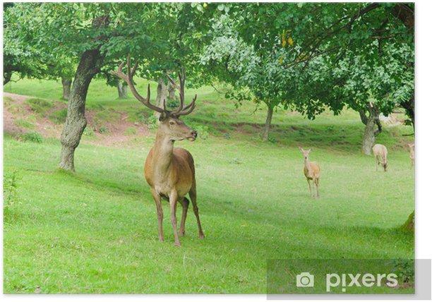 Poster Mâles et les femelles du cerf rouge (Cervus elaphus) - Thèmes