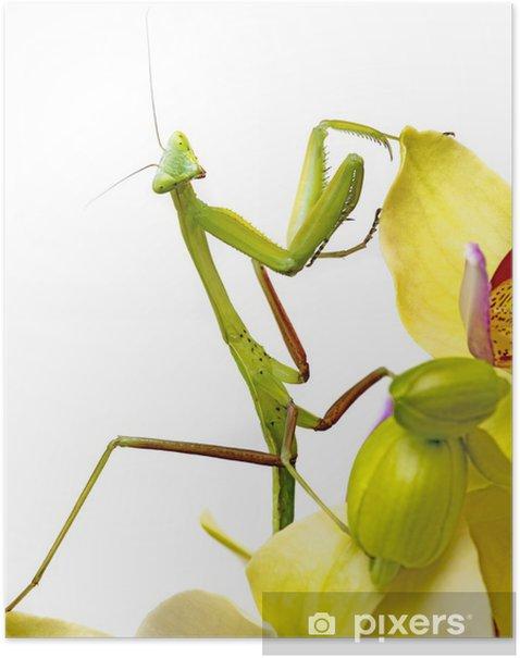 Poster Mantis isolé sur une orchidée - Autres Autres