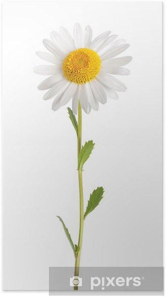Póster Margarita blanca - Flores