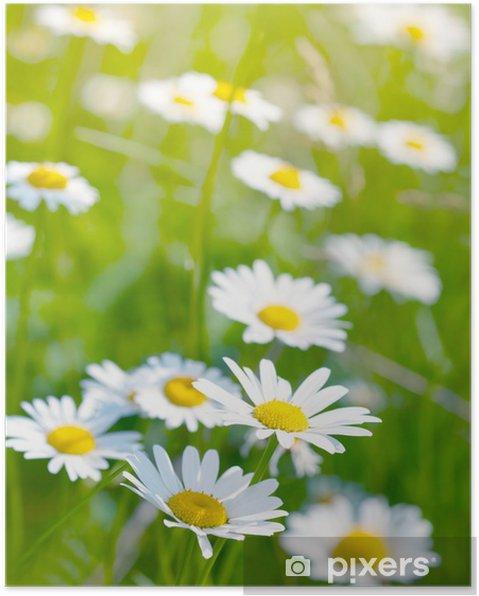 Poster Marguerites blanches et jaunes - Saisons