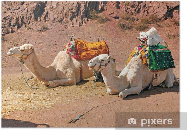 Poster Maroc, Marrakech: Chameaux - Mammifères