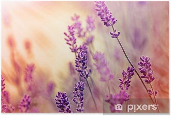 Poster Mjukt fokus på vackra lavendel och solstrålar - solstrålar - Örter