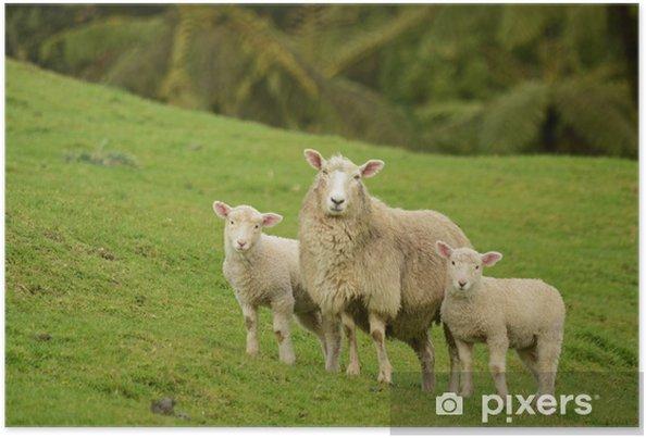 Poster Moeder schapen en haar lammeren - Zoogdieren