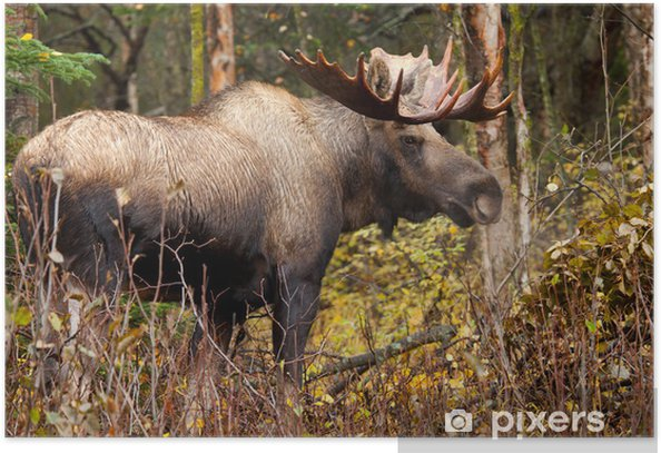 Moose Bull blowing Steam, Male, Alaska, USA Poster - Mammals