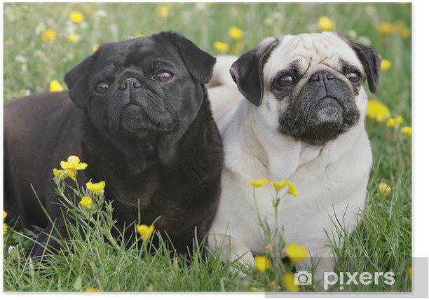 Mopspaar Poster - Pugs