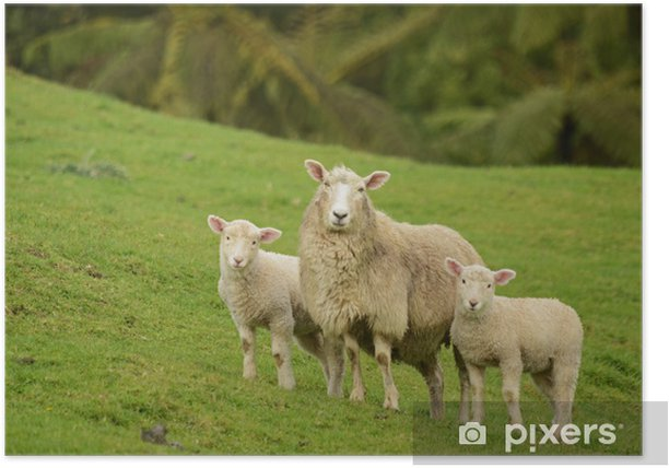 mother sheep and her lambs Poster - Mammals