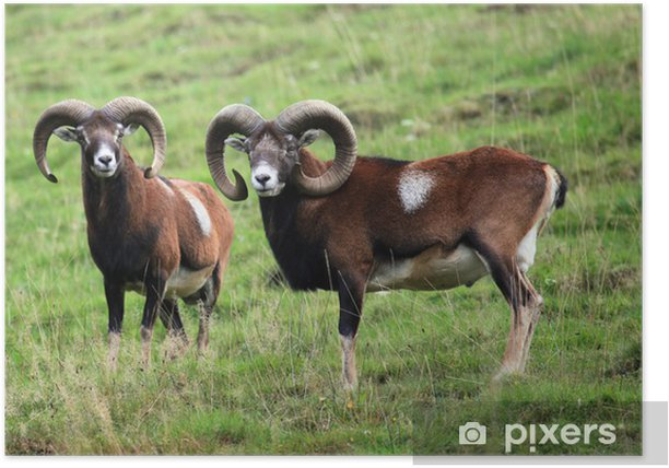 Muffel Poster - Mammals
