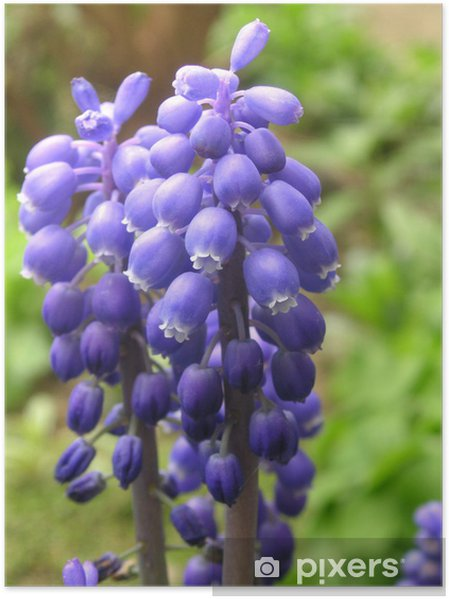 Poster Muscari - Fleurs