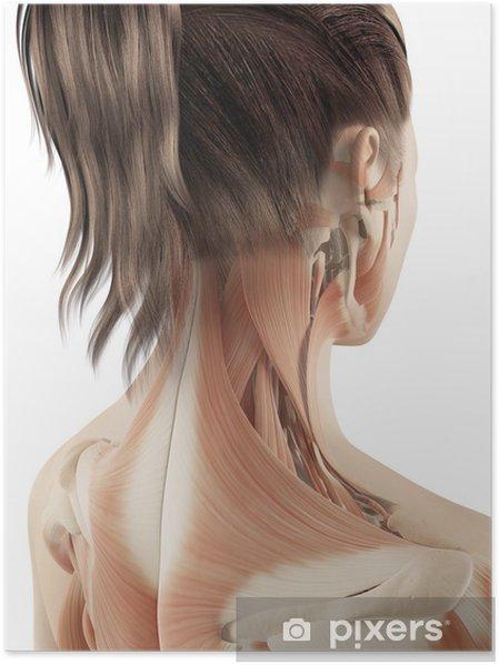 Poster Muscles féminins du cou - Santé et médecine