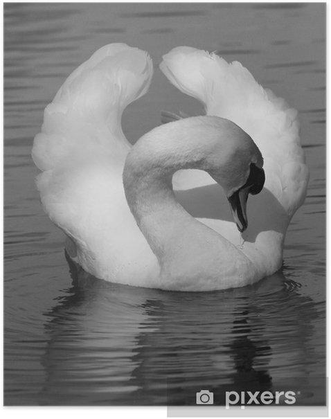 Poster Natation Swan - Oiseaux