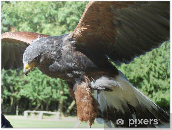 Poster Oiseau de proie chasseur, faucon de harris - Religion
