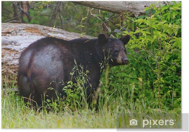 Old Black Bear Poster - Mammals