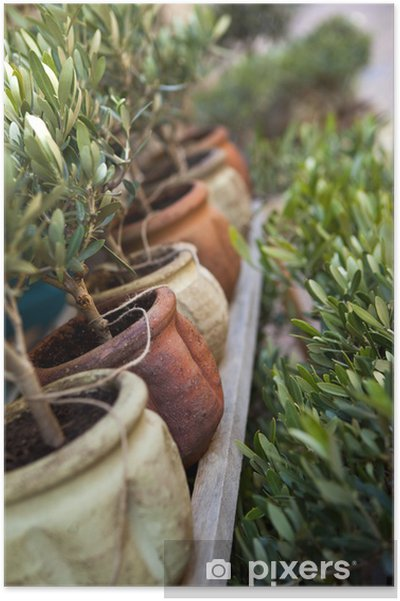 Olivier, plante, arbre, pot, jardin, Provence, terrasse Poster ...
