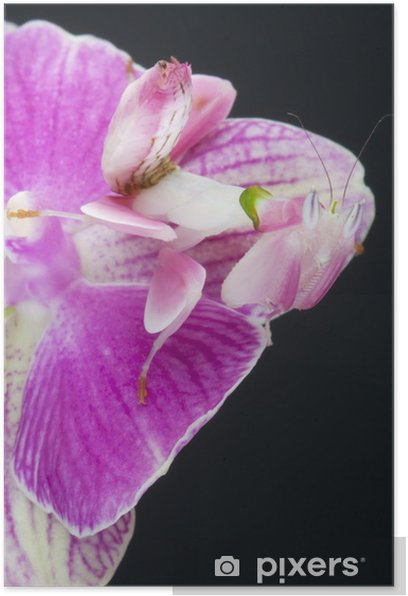 Orchid Mantis Hymenopus Coronatus Poster Pixers We Live To Change
