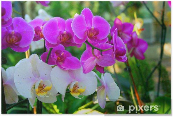 Poster Orchidée sauvage phalaenopsis, plantation beau 'diane' - Fleurs