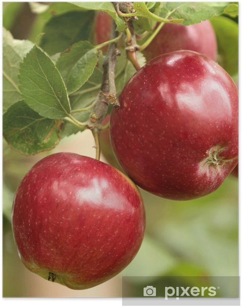 Organic red apples on branch Poster - Home and Garden