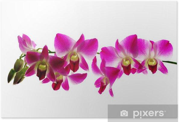 Póster Orquídeas rojas aisladas fondo blanco - Vinilo para pared