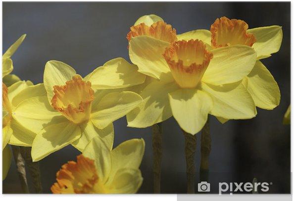 Osterglocken, Narcissus pseudonarcissus, Amarilidaceae Poster - Flowers