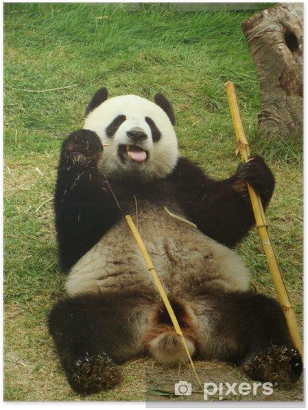Poster Ours panda géant mangeant le bambou, Chine - Thèmes