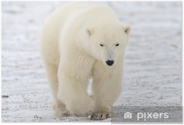Poster Ours polaire marche sur la toundra. - Thèmes