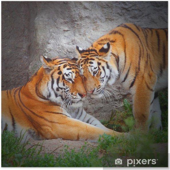 Poster Paar tijger. Liefde in de natuur. -
