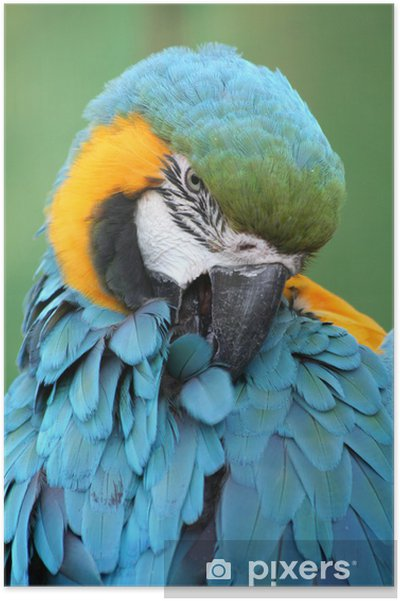 Poster Pappagallo azzurro 2 - Oiseaux