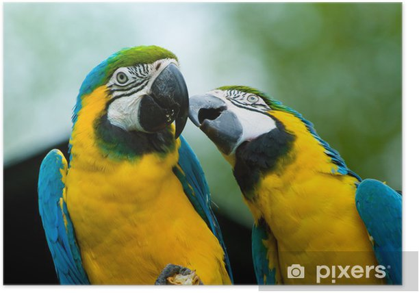 parrots in love Poster - Themes