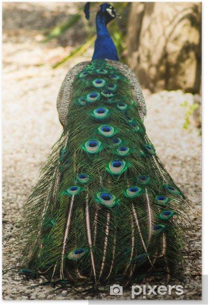 Poster Pavone - Oiseaux
