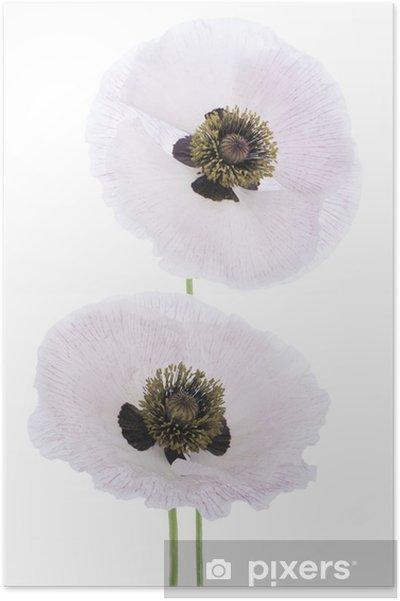 Poster Pavot - Fleurs